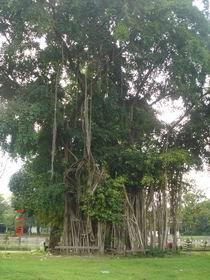 Pohon sebagai paru-paru kota